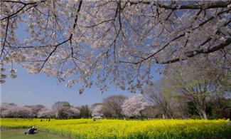 東京、輕井澤、箱根【尋醉櫻花】自由行套票3-18天