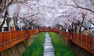 首爾【尋醉櫻花】自由行套票3-31天(從首爾出發,包來回接送和景點門票)