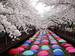【愛 ‧ 賞花】包細賞慶尚南道鎮海櫻花節一天團 (首爾出發) | 首爾自由行套票3-31天