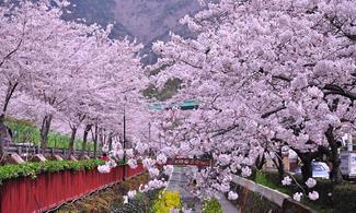 【愛 ‧ 賞花】包細賞鎮海櫻花節一天團 (首爾出發) | 首爾自由行套票3-31天