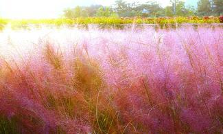 【抱川藝術山谷+楊州NARI公園】pink pink 粉紅亂子草 │首爾自由行套票3-31天