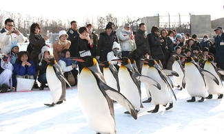 【地道遊】最受歡迎的企鵝行走表演 - 旭山動物園│包pocket wifi租借服務│札幌自由行套票3-31天